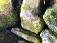 趣味でアクアテラリウム をしているのですが、川で拾った石にアオミドロができました。  ヤマトヌマエビ、ミナミヌマエビは食べますか。  それとその他の解決策があればお願いします