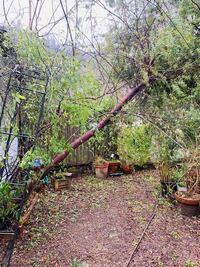 強風で5年以上になるミモザの地植えが傾いてしまいました。 違う場所に植え替え(根付くか)可能でしょうか?