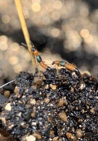 花壇の土の中に居るこの虫は何という虫なのでしょうか?どなたかご存知の方教えて頂けないでしょうか宜しくお願いします。