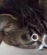 飼い猫の眉毛の生え際?辺りに出来物がありました。 結構前からあり、触ると嫌がります。猫ちゃんには体調不良など、特に変わった様子はありません。 この出来物はなんなのでしょうか。 心配です。