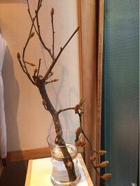 ハクモクレンの切り枝を買いました。結構太い枝ですが花後に挿し木は可能でしょうかか?