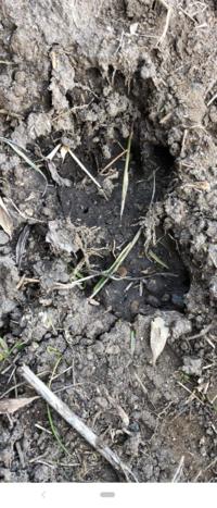 田んぼに不思議な足跡を見つけました! 日頃からイノシシは多く出ますが、イノシシではないような気がしました。 わかる方いますでしょうか?
