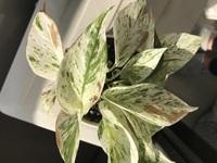 観葉植物、ポトスのマーブルクイーンを買ったばかりです。 葉がだんだん茶色に変わって、触るとやわらかさがあります。 原因はなんですか? 水遣りは1週間に1回、たまに霧吹きで葉水をしてあ げてます。 購入したときは茶色くなかったです。