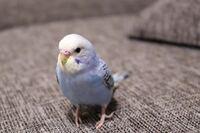 セキセイインコの品種と性別を教えてください 12月下旬生まれの幼鳥 ツンデレさんです。 よくさえずり、寝る前はごにょごにょ。  よろしくお願いします!