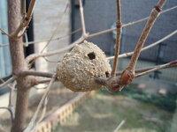 木の枝に巣を作る蜂がいるようですが、この画像の巣は蜂の巣でしょうか? また、蜂の巣だとすれば、何という種類の蜂の巣かわかりますでしょうか? 庭に植えている木の枝に、今までに見たことのない何かの巣が作られています。 (画像にある通り砂利などで固められており小さな穴が何個か空いています。) 何かの巣であろうことは簡単に想像はつくのですが、何の巣かわからず、これまで放置してきました。 蜂の...