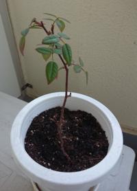 ミニバラの剪定について 枝の真ん中辺りに新芽が出ています。 それより上は切るべきでしょうか? 葉はまだ残っていますが……