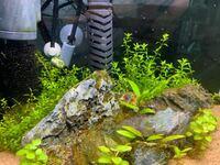 パールグラスに関して質問です。2か月前に植えたパールグラスがあまり育たなくどのように対策すれば良いのか悩んでます。 低床はボトムサンド 肥料はテトライニシャルスティックをパールグラスの下に立ち上げ時に...