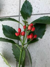 近くの森林公園で散歩していたら、見たことのない赤い実がなっていました。なんの植物かわかる人いましたらご伝授お願いします。