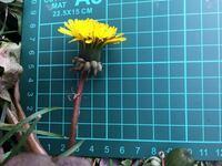 このタンポポの名前を教えて下さい! 2月26日に撮影しました。 写真に映っていない特徴としては、 ・葉柄に翼がある ・葉はやや左右非対称、両面無毛、 葉の所々に鋭く小さい鋸歯 です。  ご存知の方、宜しくお願...