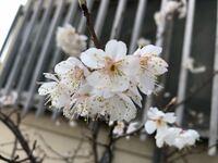 この桜の種類を教えて下さい。 家の前の鉢植えで育てている小さな桜なのですが、今年(令和2年)2月後半に開花してしまいました。   例年はもう少しゆっくりだったと思うのですが、ふと「この桜ってなんて言う種類なんだろう…」と思ったら、家人の誰も知りませんでした(^^;。    ご存知の方がいらっしゃいましたら、教えて下さい。