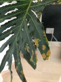 セロームの葉に黄色の斑点があります。 これは緑色になるでしょうか?