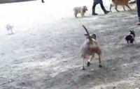 小型犬や人間の子供もいるドッグランで  ピッドブルの成犬を野放ししてる人がいます  この飼い主は大丈夫でしょうか??