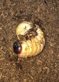 まで 蛹 カブトムシ から 幼虫 に なる