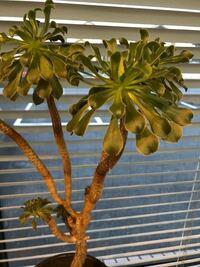 この植物の名前を教えてください。 あと、この植物の葉の根本にゴマ粒位の白い虫が大量に付いてしまいました。駆除の仕方が分かる方いらっしゃれば教えてください。
