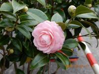 この画像の花はツバキでしょうか?山茶花でしょうか?