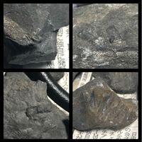 石を割ったら、化石っぽいものが見付かりました これは化石でしょうか? できれば種類も教えてください 静岡県にある池の周りで見つけました 右下の画像は化石が取れた跡で、左上が化石っぽい物の断面です
