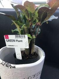 ダイソーの観葉植物の 名前がわかりません。 検索をかけたのですが種類が多くて見た目も同じ様なのがいくつかありわかりません。 どなたか詳しい方いらっしゃいましたら教えてほしいです。 鉢のタグには、2号観葉...