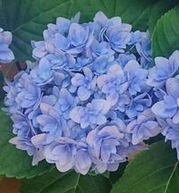 この紫陽花の品種は何でしょうか? 紫陽花が好きで、最近鉢植えをちょこちょこ集めています。 たまたま見かけて気に入ったこちらの紫陽花を入手したのですが、 似た雰囲気のものも多くイマイチ品種がわかりませ...
