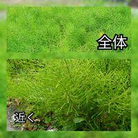 この松の葉のような葉を持つ雑草の名前を教えて下さい。