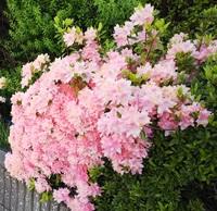 ツツジの品種を教えていただきたいのですが。 去年の5月に大阪のとある保険会社のビルの下でみかけたピンク色のつつじです よく見かけるピンク色のツツジよりも小ぶりで目の覚めるような鮮やかなピンク色をして...