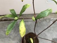 沈丁花の鉢植えについて。 昨年の春、ネットで 開花した状態の沈丁花の鉢植えを購入し、アパートのベランダでお世話をしています。昨年の夏に、他県へ引っ越した際も、頑張ってくれて、わたし も水やりは欠かさずにしてきましたが、段々と葉が黄色くなり、葉の裏側にも褐色の斑点が出てきて、自然に落葉し、スカスカになってしまいました。日当たりがあまり良くないせいだろうか?と、忙しさにかまけて、鉢の植え替え時...