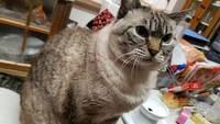 この保護猫ちゃんはサバトラで合ってますか?もう14歳くらいになる保護猫なのですが、14年近く飼っていて今更気になりました!目の色は他に飼っているラグドールとほとんど一緒のブルーです。三 毛猫とか茶トラと...