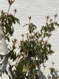 キンモクセイについてです。 現在、こんな感じで緑色の葉は下に向いて、新芽はグングンと成長しています。キンモクセイはこんな感じで成長して行くのでしょうか。去年も新芽が出て花が咲く頃には、緑色の葉はこの...