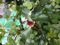 バラ レオナルド・ダ・ビンチの枝先に画像のようにツボミ状のピンク色のものが出ています。通常のツボミとは違います。葉の形も通常のバラの葉より大きく、キクの葉のような形です。何かの病気 かでしょうか?こんな形のものが出ることはありますか?どなたか詳しい方がいらっしゃいましたら教えて下さい。宜しくお願いします。