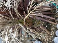 北関東で、雪はあまり降らない地域にて、フェニックスロベレニーを昨年の夏前に庭に植えました。 霜には弱いと聞いていたので、この冬は葉をまとめて、その状態から不織布で最上部から下部の方 まで巻き、越冬し...