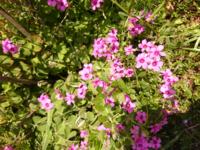 道端に咲いていたこの小さなピンクの花の名前を教えてください。