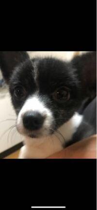 """犬種はなんなのでしょうか? 2年前から飼っている愛犬なのですが、 犬種云々よりもただただ可愛くて迎え入れることにしました。 ですが、ペットショップの表記には """"ポメラニアン""""とありました。 血統..."""
