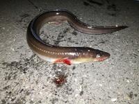 この魚はなんでしょうか?川崎エリア、青イソメのブッコミ釣りで連れました