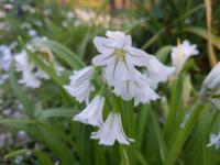 この白い花の名前の名前を教えていただけますか? 埼玉県幸手市の権現堂堤に咲いて いました。 スノーフレークやスノードロップに似ていますが、違うようです。