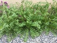 この植物は何でしょうか?  ネモフィラの苗のコーナーから買ったのですが、植えて1ヶ月経ちますが一向に咲く気配がありません。 とゆうか葉っぱが伸びるばかりで(20㎝ぐらい)、蕾もありま せん。  人参で...