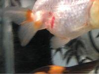 らんちゅうが赤斑病になったようです グリーンf ゴールド顆粒と塩浴の併用で、治療法はあっていると思いますか?よろしくお願いします
