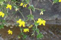 一昨日北九州市で見た黄色の野草です。花の形と色からミヤコグサだと思いますが、イマイチ自信がありません。果たしてミヤコグサでしょうか?