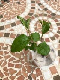 ハナカイドウについて教えて頂けないでしょうか。 ハナカイドウの根から ひこばえが生え、地表に出てきました。 ひこばえの葉は写真の通り、葉の周りにギザギザがあり ハナカイドウの葉に似ていません。ハナカイドウの葉は成長すると変わるのでしょうか? 宜しくお願い致します。