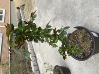 バラの手入れ、剪定についてです。 去年の秋に購入したタイタニックという品種のバラです。 買いっぱなしで、時々肥料をあげている程度です。  春になり葉がついてきましたが、剪定などは必 要なのでしょうか?