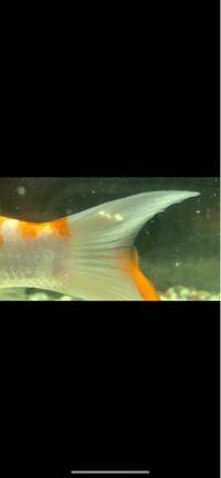 錦鯉の背鰭にこのようなものが付着していました、この様な物は初めて見たのですがこれはなにかの病気ですか?病気ならどのような薬をつかれば良いですか?