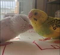 別の種類のインコ、小鳥を複数飼いしている方おしえてください。  生後1ヶ月のセキセイインコ、生後3週間のマメルリハインコを飼っています。 ほぼ同時に飼い始めましたが、セキセイの方が 成長が早く、一足先に一人餌になりました。  もちろん別ケージ(プラケース)で飼っていますが、互いに互いのことを気にするので、見張りながら1日数分対面させています。  基本的にはセキセイの方から寄って...