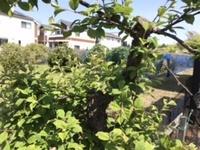 庭木にお詳しい方に。その2 これは何でしょう?