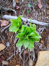 この植物の名前をおしえていただけますでしょうか。東北地方の低山の、登山道の脇に生えてました。日当たりはよく、どちらかというと乾燥してる斜面に生えてました。分かる方ご回答よろしくお願いいたします。