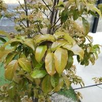 庭のヤマボウシの葉っぱが 赤茶色になってます。 何をしてあげればいいでしょうか?