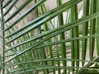 先日フェニックスロベレニーを購入しました。葉の裏に写真のようなものがありますが、これはカイガラムシでしょうか? 中央部分が特に沢山ついてます。
