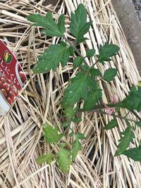 家庭菜園初心者です。 4日ほど前にミニトマト の苗を植えました。 昨年はプランター 栽培で沢山のミニトマトが採れたので、今年はこの自粛期間を利用して庭の一角に小さな畑を作って植えてみました。 ところが、...