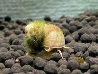 ネオンテトラの水槽にヒメタニシをいれたのですが、これってヒメタニシてあってますか?