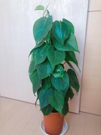 こちらの観葉植物の名前を教えてください。 育て方や特徴が分からず… ハート型の葉っぱです。