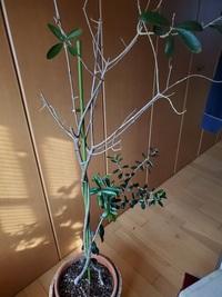 オリーブの木についてご教授願いたく投稿いたします。一昨年頂いたのですが、去年の今頃は新芽がよく茂り元気でしたが、今年になってから、葉がポロポロと落ち始めました。 園芸コーナーの方に相談したら、根詰ま...