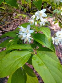 ウツギ?ヒメウツギ? 5月5日埼玉県秩父市の山中です。 花と葉で違いが分かるものでしょうか。 お分かりの方いらしたら宜しくお願い致します。