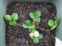いちごのランナーについて 初心者です。 いちごを初めて育てようと思っています。  苗を買ってきたところ、画像のような感じなのですが、左右に伸びているのはランナーというものなのですか? それとも、ただ、茎...